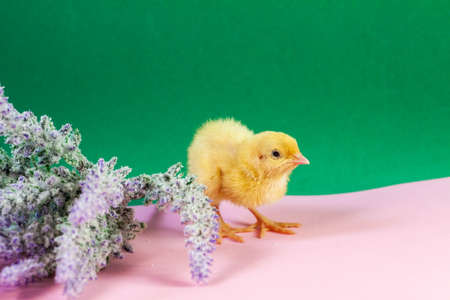 Newborn yellow chicken. Chick hatched from an egg. Chicks together with eggs background for the poultry farm. Imagens - 156756557