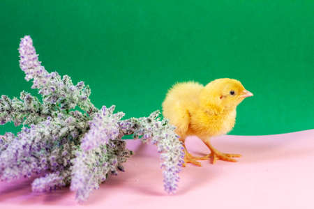 Newborn yellow chicken. Chick hatched from an egg. Chicks together with eggs background for the poultry farm. Imagens