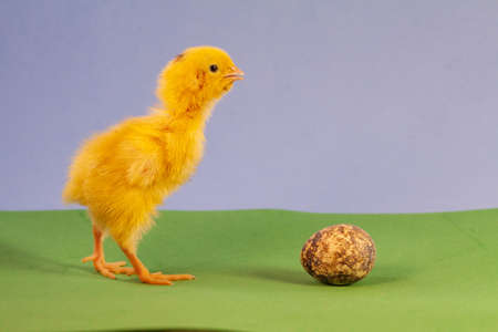 Newborn yellow chicken. Chick hatched from an egg. Chicks together with eggs background for the poultry farm. Imagens - 156756574