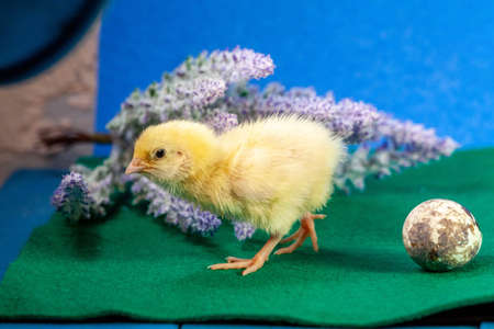 Newborn yellow chicken. Chick hatched from an egg. Chicks together with eggs background for the poultry farm. Imagens - 156121527