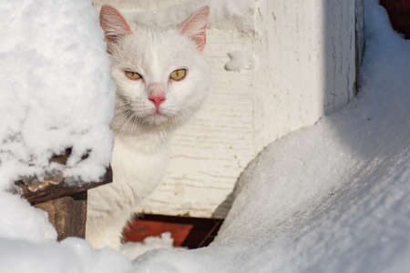 cat in the snow. The cat froze over in the winter outside, covered in cold the street. The cat is played with snow in the yard for christmas. Standard-Bild - 163419210