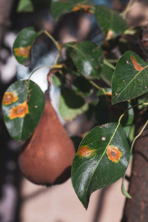 Branches leaves and pear fruits affected by orange rusty spots and horn-shaped growths with spores of the fungus Gymnosporangium sabinae in a human home garden. Pear leaves with pear rust infestation.