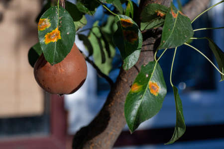 Branches leaves and pear fruits affected by orange rusty spots and horn-shaped growths with spores of the fungus Gymnosporangium sabinae in a human home garden. Pear leaves with pear rust infestation. Foto de archivo
