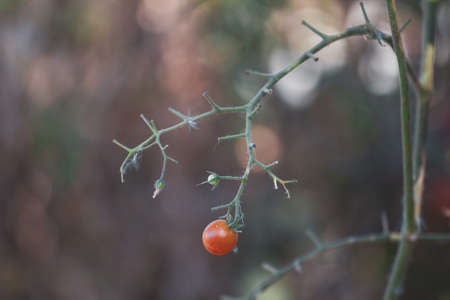 Tomato fruits damaged by bacterial disease. Moisture cracked tomatoes. Tomatoes dried up from pests. Reklamní fotografie