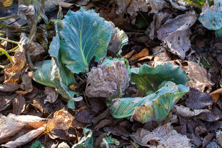 diseased cabbage leaves affected by pests and pathogenic fungi. Cabbage leaves spoiled by frost. Reklamní fotografie