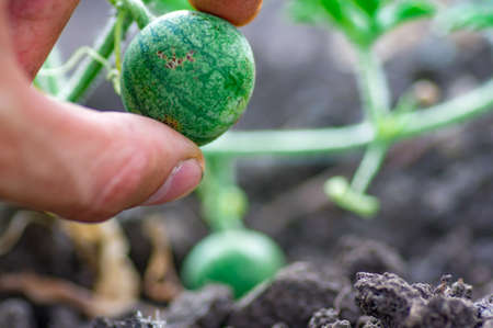 Organic watermelon growing on the field at eco farm. Closeup of growing small green striped watermelon in farmers hand. Tying the fruit of an early watermelon in the spring in the garden Standard-Bild