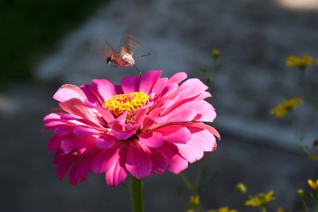 Butterfly Macroglossum stellatarum hovering over a flower in our garden  photo