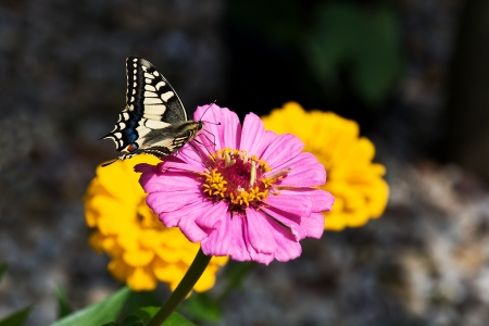 seeks: Butterfly seeks nectar on pink flower asteraceae
