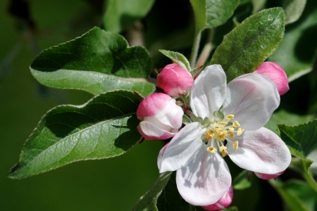 First flowers on an apple tree preached the arrival of spring  Stock Photo