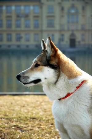 Portrait of a West Siberian Laika dog photo