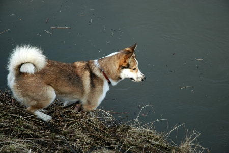 West Siberian Laika dog on the river bank  photo