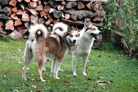 West Siberian Laika dogs in the backyard photo