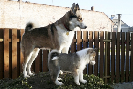 West Siberian Laika dog and her puppy photo