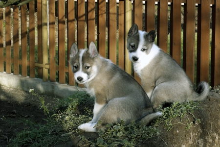 West Siberian Laika Puppies in the yard photo