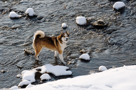 Female West Siberian Laika walking in winter along the river Morava in Litovel photo