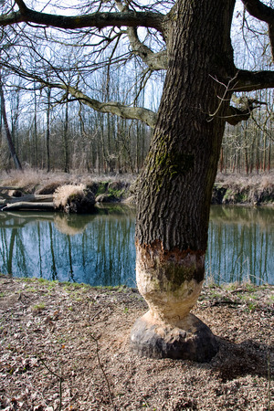 Beaver tree gnawing damage in forest round Litovel, Czech Republic photo