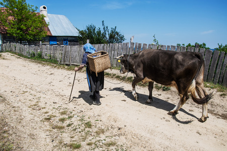 VILLAGE ROVENSKO, ROMANIAN BANAT, MAY 27, 2009 - An unidentified old woman returning from the fields with her cow  Rovensko is one of six purely Czech villages in Romania, where the Czechs live more than 150 years