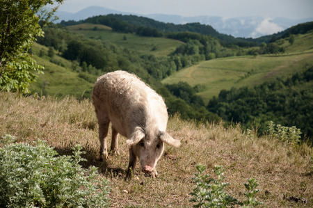 The young pig on a pasture outside the village in the Romanian Banat     photo