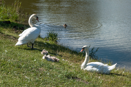 Swans parents with nestlings ashore the pond photo
