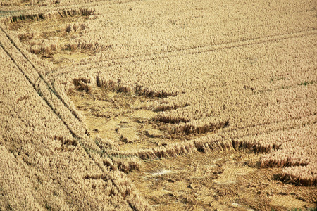 adjusted: Corn field before harvest partially damaged by storm Stock Photo