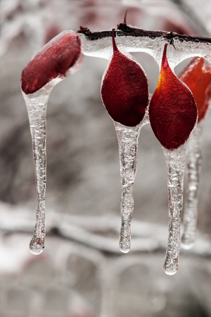 Branch tree covered with snow and ice as a result of rain photo