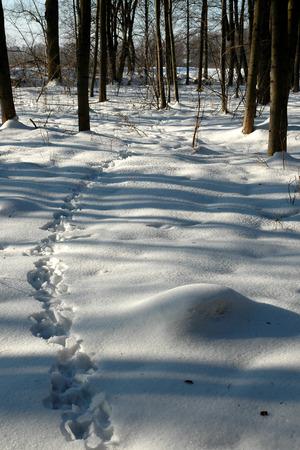 huellas de animales: Huellas de animales sobre la nieve congelada en el bosque