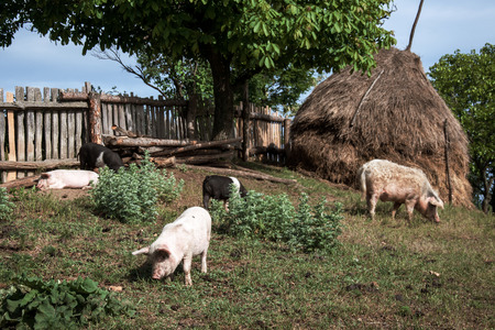 romanian: Pigs rest and graze in the yard in Romanian Banat
