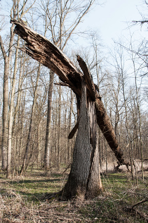 toppled: The wind and the storm broked an old tree Stock Photo