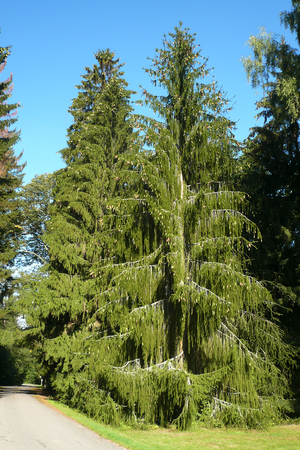 picea: The snake spruce tree Picea abies viminalis, oddity in the realm of trees Stock Photo
