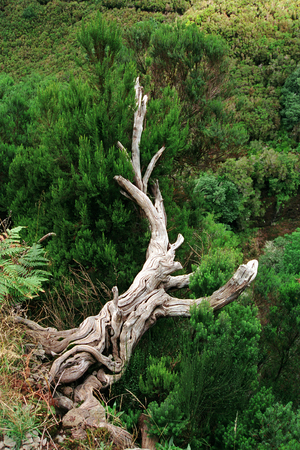 conservationist: The rest of the old tree as a Conservationist on the island of Madeira