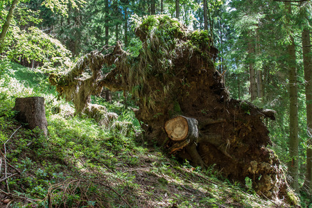 Stump with the roots of uprooted tree after a summer storm