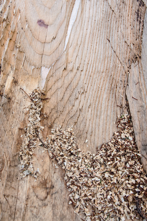 Wood texture of cut tree trunk, close-up with sawdust
