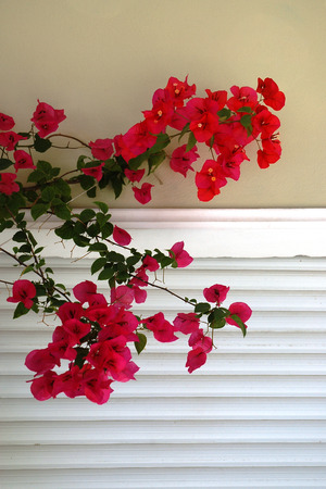 Bougainvillea is a beautiful flowering shrub typical for Greece Фото со стока