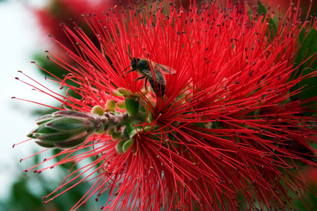 Bottlebrush - red fluffy bush flower in bloom at sun spring day with the bee inside. Macro shot