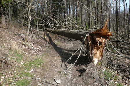 A tree broken after the storm is preventing pedestrians and cyclists on a forest path