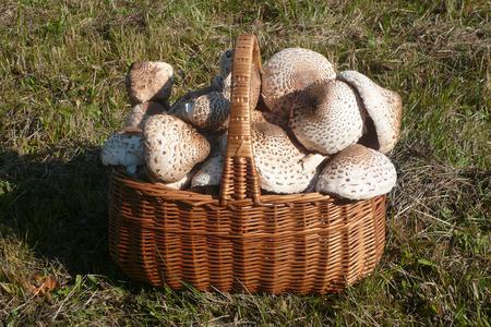 Basket full of mushrooms resembling an umbrella (Macrolepiota procera) on the lawn Фото со стока