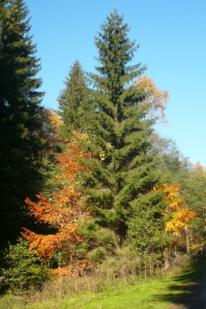 A spruce tree in the mixed forest looking as if it had blossomed in autumn Фото со стока