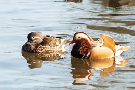 A rare Mandarin duck on a pond in Litovel, Czech Republic, appeared even though her home is East Asia Stock Photo
