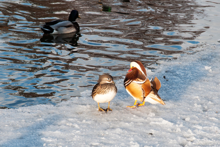 A rare Mandarin duck on a pond in Litovel, Czech Republic, appeared even though her home is East Asia