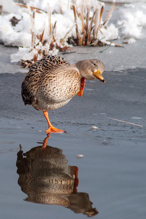 Wild duck on pond edge during morning hygiene in the mirror of water surface