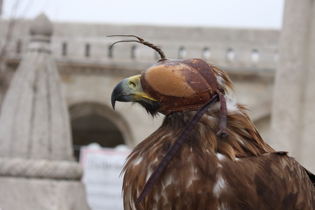 European Eagle with leather mask