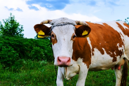 looked: cow looked in wonder at the green grass