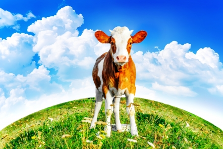 a young calf on green grass and a blue sky photo
