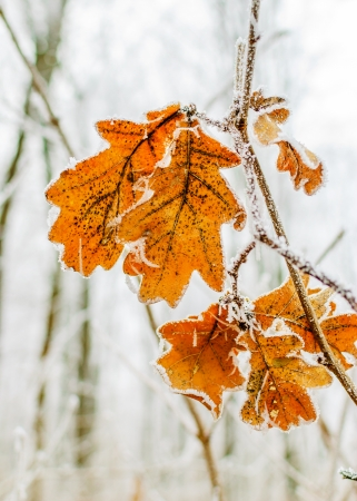 oak leaves covered with snow in the cold winter days photo