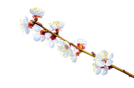 apricot tree: Beautiful spring flower apricot tree isolated on white background