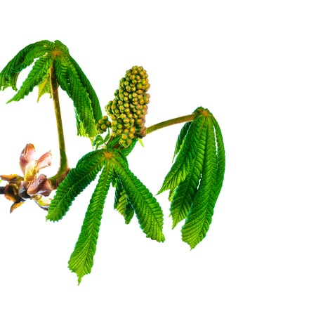 twig blossoming chestnut isolated on white background photo