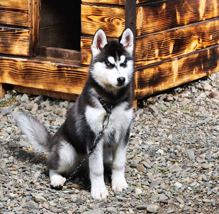 Husky dog playfully looks at the camera on the street a wooden background.