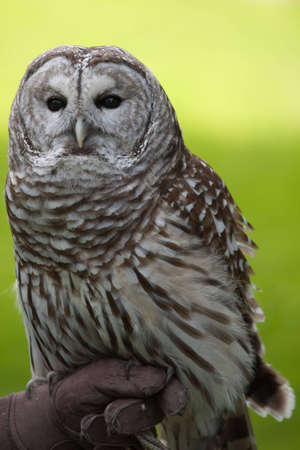 Barred Owl Strix Varia perched on a handlers gloved hand 스톡 콘텐츠