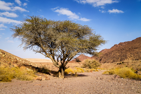 Lonely dry tree in valley of arid sandstone Negev desert near Eilat, Israel. Hiking pathway to Red canyon. Stock Photo