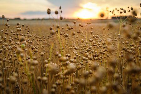 Detalle de las plantas de lino (Linum usitatissimum) en el campo durante la puesta de sol en Austria. Poca profundidad de campo.